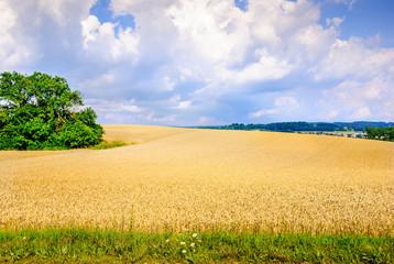 Culture du blé dans la campagne vaudoise