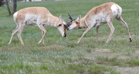 Ramming horn locked wild antelope