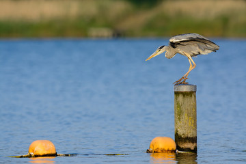 Grey Heron (Ardea cinerea) fishing in a lake.