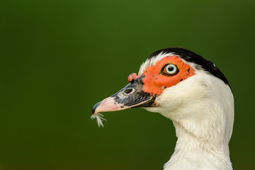 Portrait of a Muscovy duck (Cairina moschata).