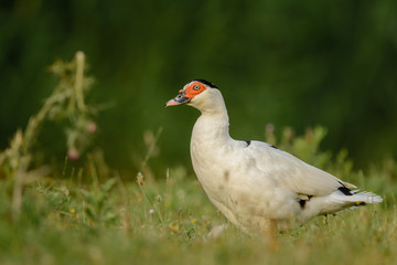 Muscovy duck (Cairina moschata) in a meadow.