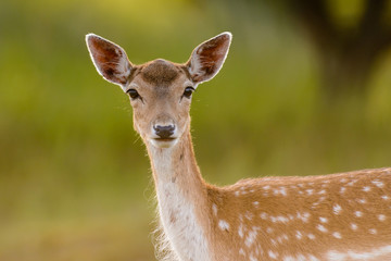 Portrait of a Fallow Deer (Dama dama).