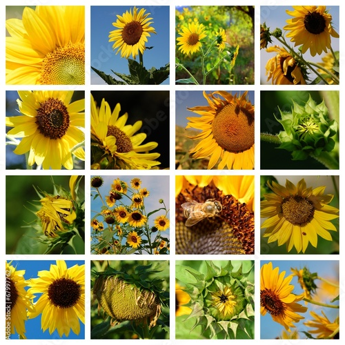 canvas print picture Sonnenblumen Collage 16