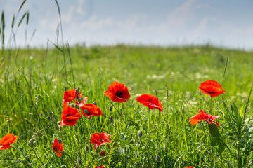 Green field with poppies