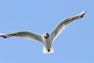 black headed gull in flight