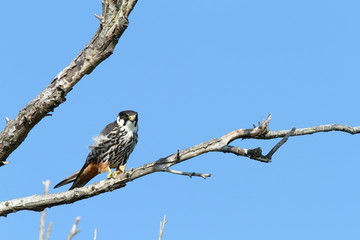 eurasian hobby on banch