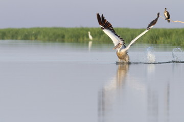 pelican taking flight from water
