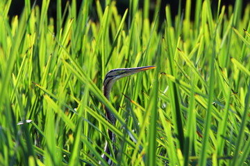 purple heron hiding  amongst reeds