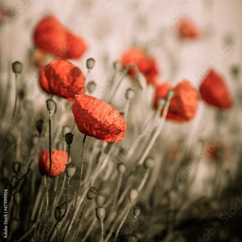 red poppy - 67999956
