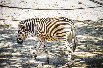 zebra in a zoo park, skin patterned stripes