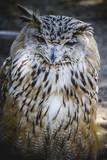 Spanish owl in a medieval fair raptors poster