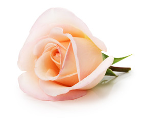 light pink rose isolated on the white background