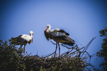 storks nest on a summer afternoon