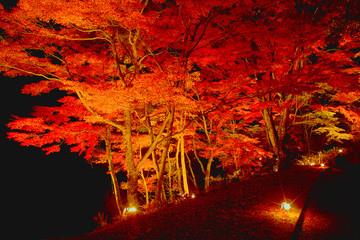 紅葉したモミジのライトアップ