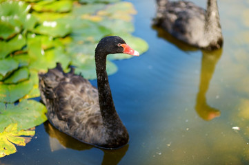 Beautiful black swans swimming in a lake