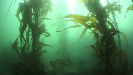 Pacific Kelp Forest Swaying