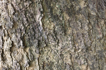 Texture of the old tree bark.