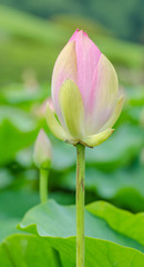 Oga lotus flowers in Korakuen garden Japan