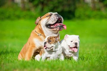 English bulldog with puppies