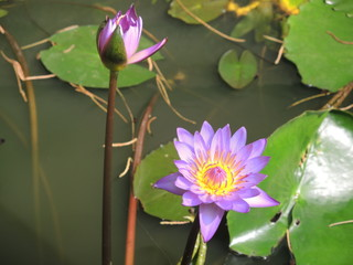 Blooming Lotus in sunny day