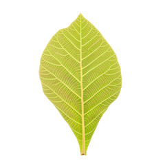 Teak Leaf Clipping Path on white background