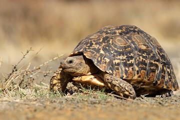 Leopard tortoise (Stigmochelys pardalis)
