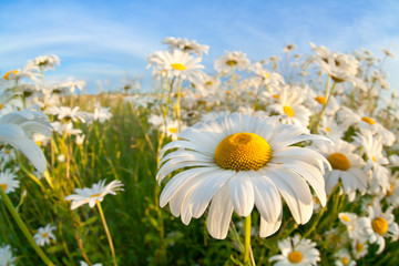 chamomile flower over blue sky