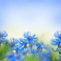 Wild blue cornflowers, floral background