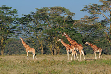 Rothschilds giraffes, Lake Nakuru National Park