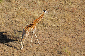 Aerial view of a running giraffe