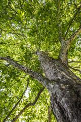 old tree - plane tree