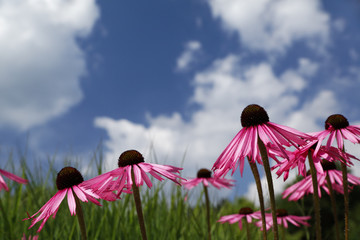 Himmel mit purpur Blüten