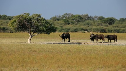 African or Cape buffaloes at a waterhole