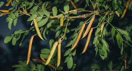 Caragana tree, yellow acacia, Caragana arborescens