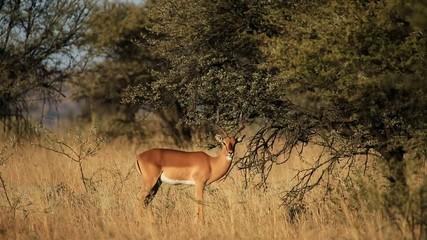 A male impala antelope feeding in natural habitat