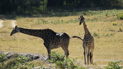 Two giraffes and impala antelopes at a waterhole