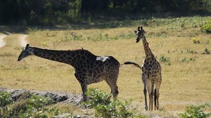 Two giraffes and impala antelopes at a waterhole