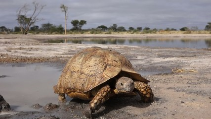 A leopard tortoise walking at a scenic waterhole