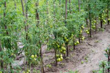 Cultivation tomato on a farmer kitchen garden during