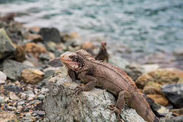 Brown Iguana Sunning on Rock