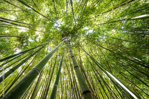 Poster Bamboe bamboo forest - fresh bamboo background