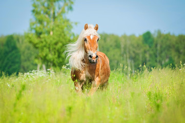 Beautiful horse with long mane running on the summer field