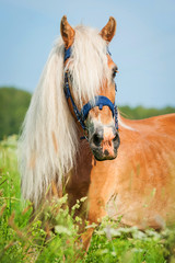 Portrait of beautiful horse with long mane