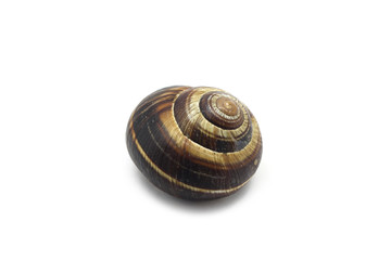 large edible snail isolated on white background