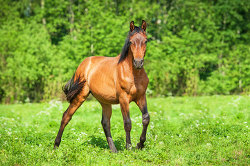 Young bay horse in the pasture