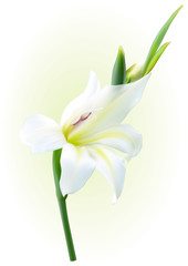 white gladiolus flower