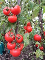Red tomatoes in kitchen-garden