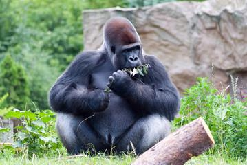 gorilla eats a branch