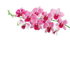 Orchids on white background with clipping path