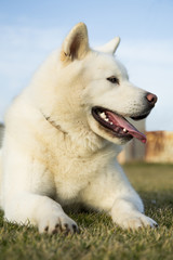 Photo of pure white Akita Inu dog lying on grass